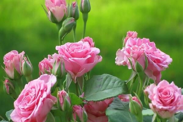 طبع گلاب مصلح