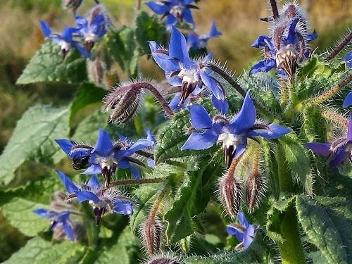 گل گاو زبان طبیعی ترین آرامبخش دنیا
