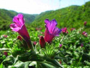 فواید روغن گل گاو زبان برای درمان و کاهش التهاب آرتروز